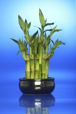 lucky bamboo plant, feng shu backlit with blue. Blue represents energy, calm and soothing.