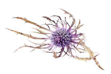 isolated eryngium flower, resembles a thistle head photo