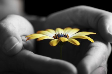 fragile daisy being protected by hands Stock Photo