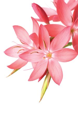 gorgeous pink lily with space for text Stock Photo