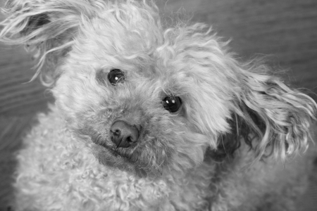 scruffy looking toy poodle needing a grooming photo