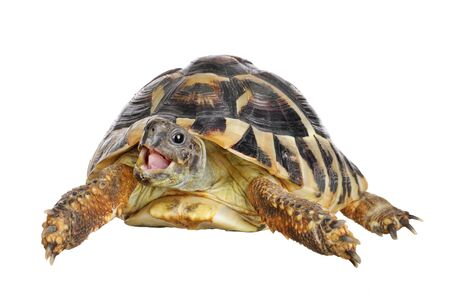 herman: Herman tortoise with happy enthusiastic expression Stock Photo