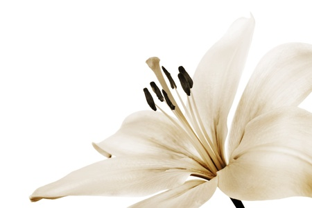 anther: beautiful sepia toned lily Stock Photo