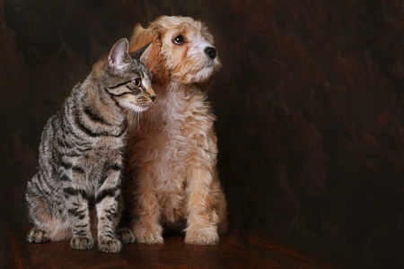 Adorable cavapoo puppy with Tabby kitten. photo