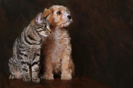 obey: Cachorro adorable con cavapoo Tabby gatito. Foto de archivo