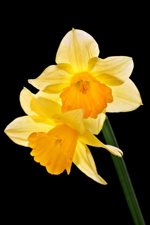 daffodils: beautiful yellow daffodils, isolated on a black background