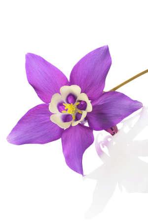 aquilegia: Mini star variety of Aquilegia , alpine plant, on white background Stock Photo