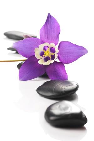 aquilegia: Beautiful Aquilegia flower, mini star variety. Spa pebbles and blossom.