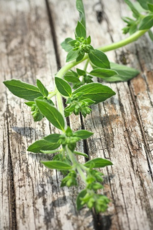 oregano plant: freshly picked oregano, herb,straight from the garden, focus to central part of image Stock Photo