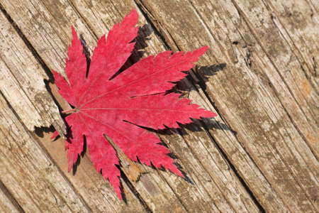 acer: trapped maple leaf in a piece of old weathered wood
