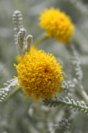 commonly: santolina chamaecyparissus commonly known as cotton lavender  It produces masses of small yellow flowers