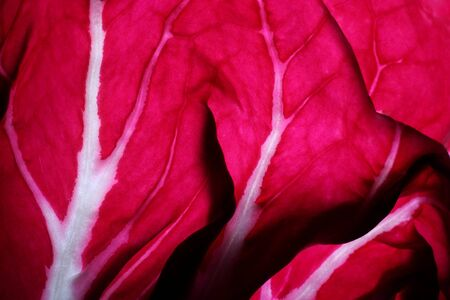 red abstract: Close-up detail of a Radicchio leaf also known as leaf chicory. Stock Photo