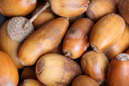 Fallen acorns from an oak tree, UK. Stock Photo