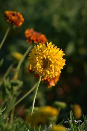 Marigold yellow flower in the garden