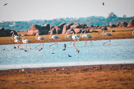 Lesser flamingo, Himayat Sagar Lake, Hyderabad
