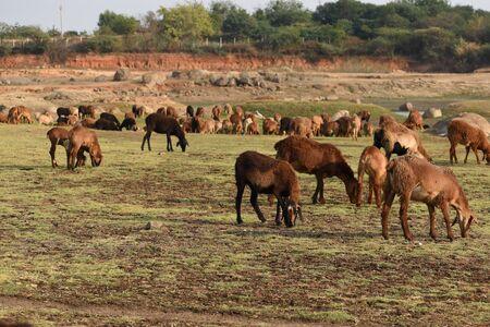 Domestic sheep grazing or eating green grass in meadow or pasture at Himayat Sagar Lake, Hyderabad, India. Stock Photo