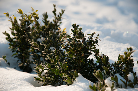 Warm sunlight falls on a plant with green leaves in the snow