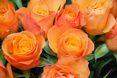 Bouquet of a large number of beautiful roses 免版税图像