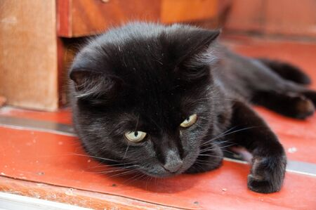Black cat wearing a collar with yellow beautiful eyes lying on the floor. Animal Day and Cat Day Standard-Bild - 131269820