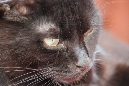 Yellow eyes of a very beautiful black cat close-up. Animal Day and Cat Day Standard-Bild - 131269833