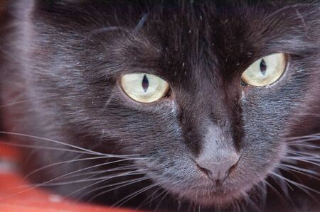 Yellow eyes of a very beautiful black cat close-up. Animal Day and Cat Day Standard-Bild - 131770808