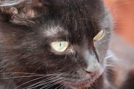 Yellow eyes of a very beautiful black cat close-up. Animal Day and Cat Day Standard-Bild - 131269832