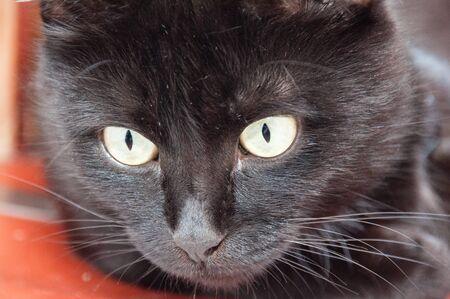 Beautiful black cat looks down, closeup portrait. Animal Day and Cat Day Standard-Bild - 131770810