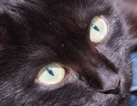 Black cat with yellow eyes close up. Animal Day and Cat Day Standard-Bild - 131269835
