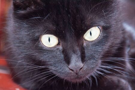 Yellow eyes of a very beautiful black cat close-up. Animal Day and Cat Day Standard-Bild - 131770811