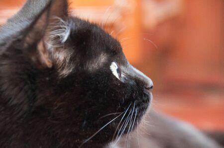 Beautiful black cat looks away, closeup profile. Animal Day and Cat Day Standard-Bild - 131269901