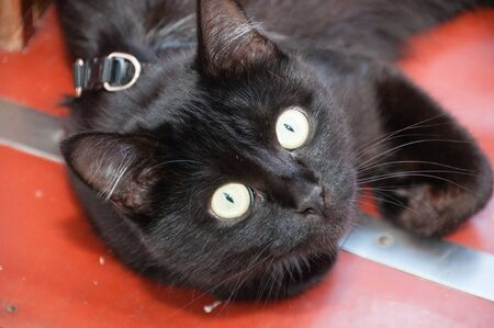 Black cat wearing a collar with yellow beautiful eyes lying on the floor. Animal Day and Cat Day Standard-Bild - 131770815