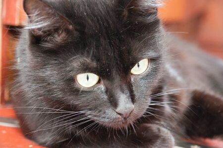 Beautiful black cat looks down, closeup portrait. Animal Day and Cat Day Standard-Bild - 131269898