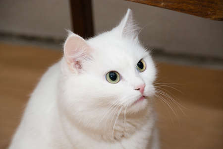 Beautiful mongrel white cat at home.