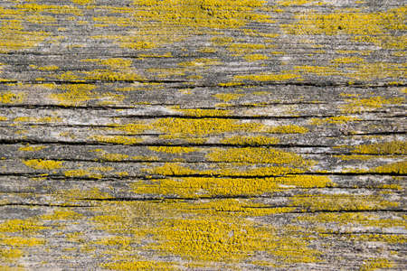 Wood texture, background with copy space. Old wooden table overgrown with lichen Standard-Bild