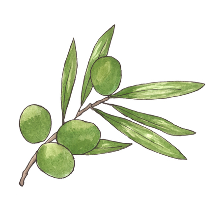 oil crops: Watercolor olive branch on white background. Hand drawn and isolated natural vector object. Illustration