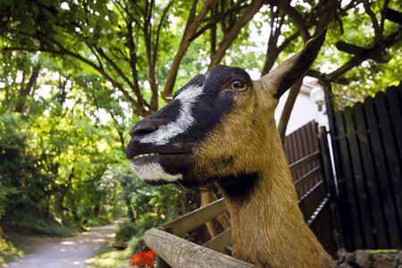 hircus: Funny happy goat closeup portrait. Home goat Capra hircus cretica.