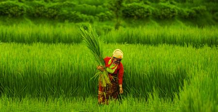 Gurkha, Nepal. September, 01, 2010. Farmer woman working in the rice fields in Gurkha, Nepal