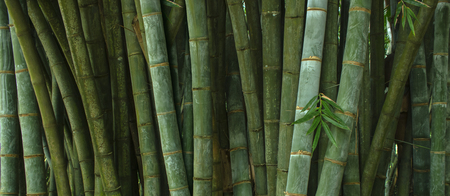 Tropical bamboo forest Stock Photo