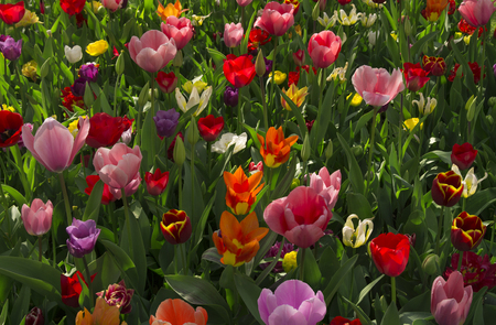 Tulips in spring in the fields of Holland 版權商用圖片