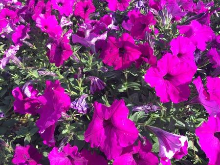 ligh: hot pink petunia in bright sun ligh