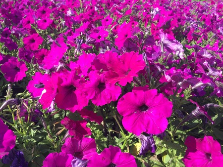 ligh: hot pink petunia in bright sun ligh