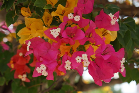 color bougainvillea: vivid color bougainvillea flower under shade of it tree make photo with cool tone color