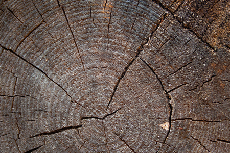 Aged and weathered wooden background. Texture of cut pine with age rings and cracks. Rough grain trunk texture