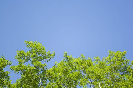 Green leaves and sky background. Fresh green leaves dense of Tilia or linden. tree and sky background Stock Photo