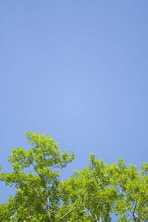 Green leaves and sky background. Fresh green leaves dense of Tilia or linden. tree and sky background vertical Stock Photo