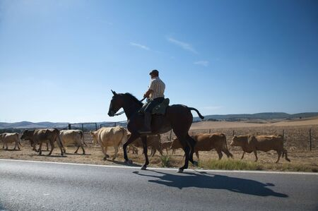 spanish cowboy with cows next to road photo