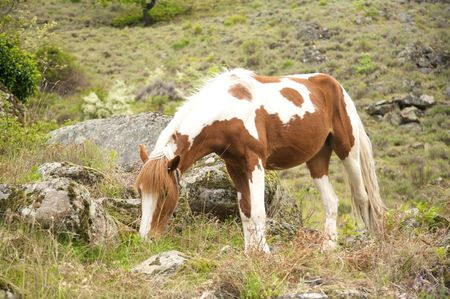 white and brown horse at gredos mountains in avila spain photo