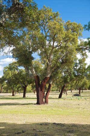 extremadura: cork trees at caceres in extremadura spain