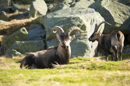 avila: goats at gredos mountains in avila spain Stock Photo