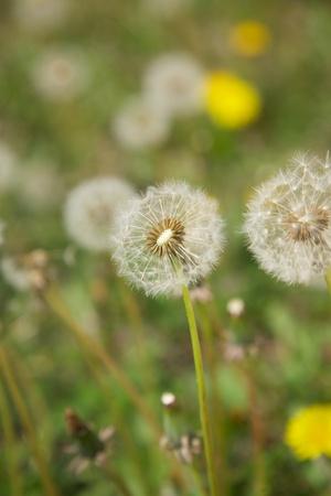 white dandelion at green field in Spain photo
